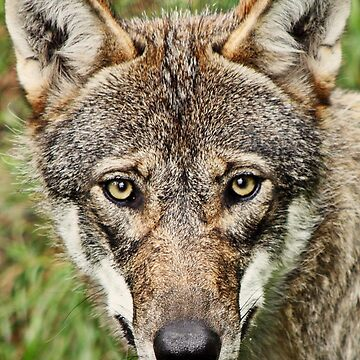 Canis Lupus by breakfree