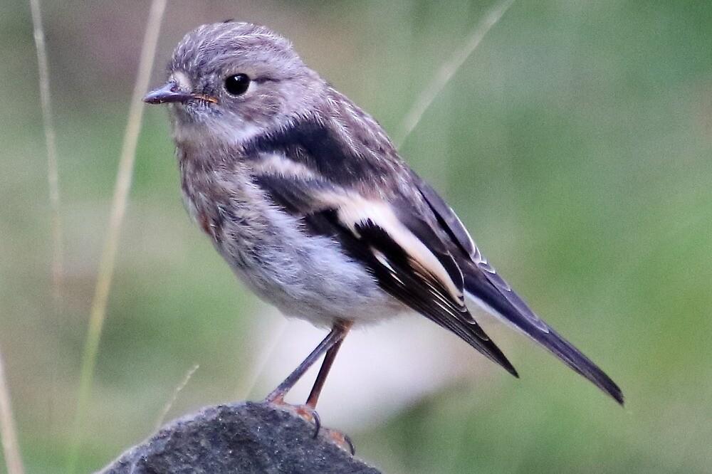 juvenile scarlet robin I'm told by Gaylene Norton