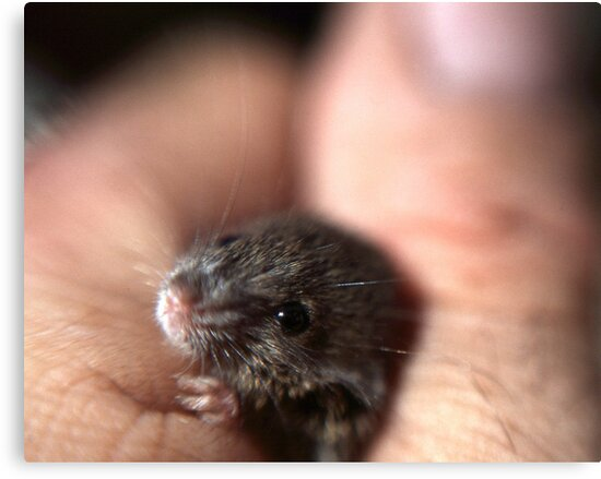 A baby mouse twitching his nose. by Phil Campus