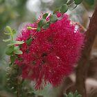 Granite Bottlebrush, Melaleuca elliptica by lezvee