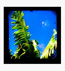 Banana Tree Photographic Print