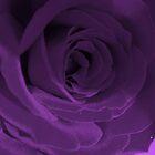 Purple Velvet by Lozzar Flowers & Art
