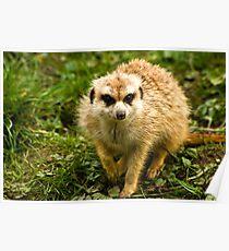Meerkat #2 Poster