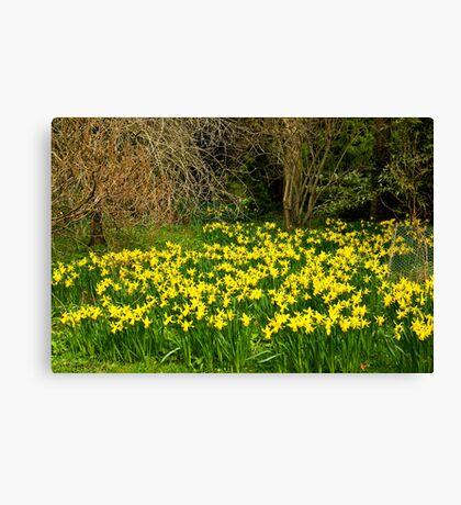 Yellow Trumpets Canvas Print