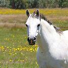Sampson by holistichorses