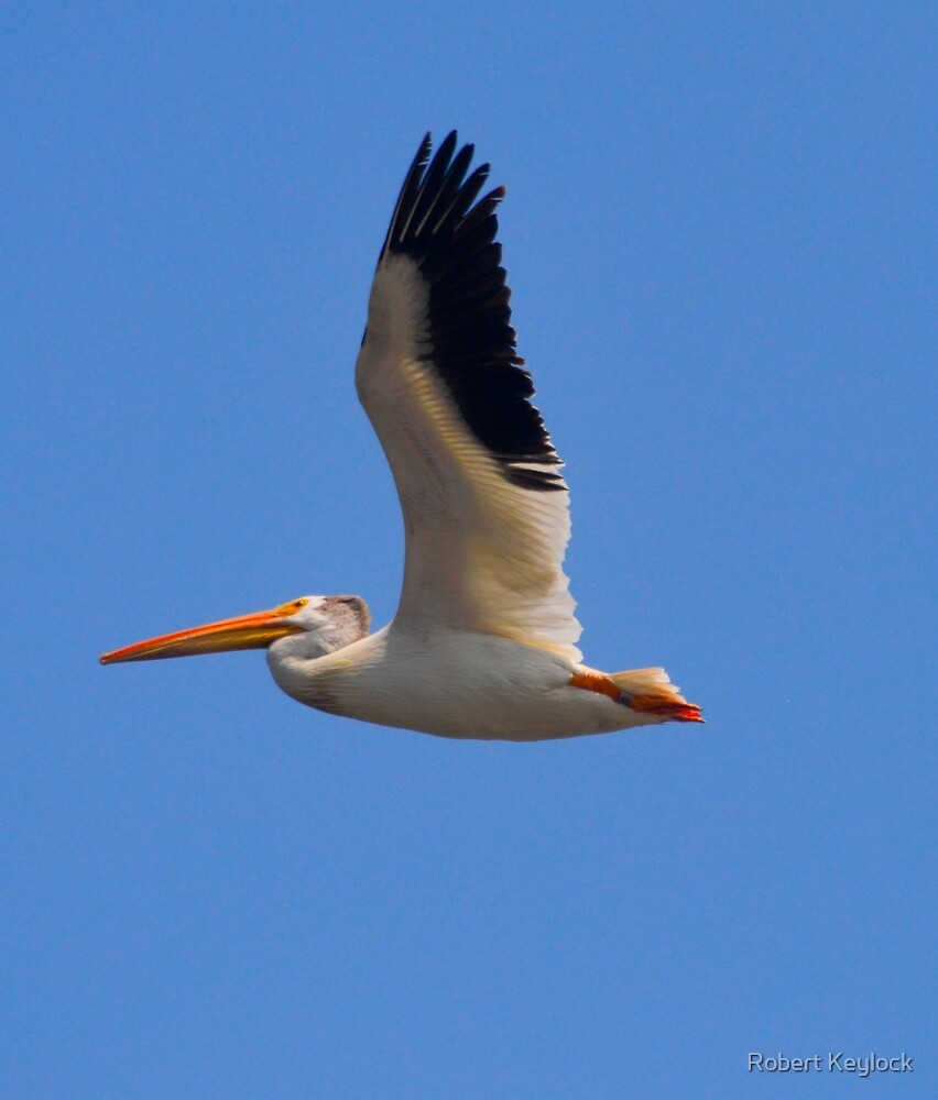 pelicans  illinois by Robert Keylock