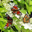 Three spring beauties by kindangel