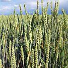 Weizen von Gourmetkater