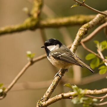 Coal tit in the park by jon77lees