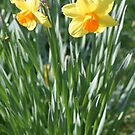 Daffodils by BethXP