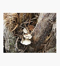 tiny shelf fungus Photographic Print