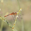Red Dragonfly by BekB