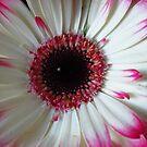 aufgeblüht - zauberhafte Gerbera Blume in weiss und pink von rhnaturestyles
