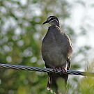 Common Bronzewing,Denmark West Australia by robynart