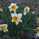 Daffodils At Dusk by Linda Miller Gesualdo