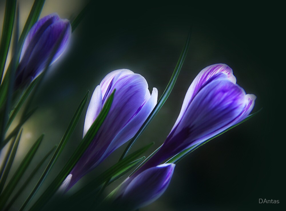 Crocuses by DAntas