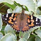 painted lady butterfly by monkeyferret