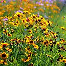 Blue Ridge Coreopsis by Cecilia Carr