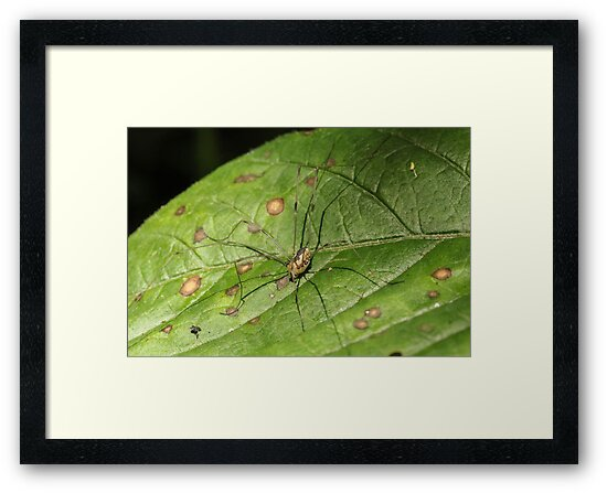 Daddy Long Legs Camouflage by Gary Horner