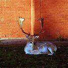 Deer in the village  by Debja