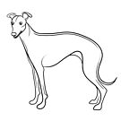 Whippet Line Drawing by Adam Regester