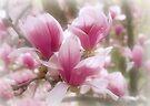 Magnolias by Sandy Keeton