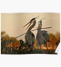 Herons Building a Nest, Wetlands of Florida Poster