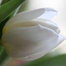 White Tulip by Terri~Lynn Bealle