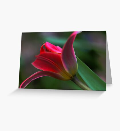 Tulip - Just Before Sunset -- Bridgton,  maine Greeting Card