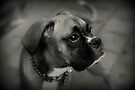 Eine Boxer-Profil ~ Boxer Dogs-Serie von Evita