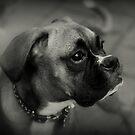 «Perfil de un boxeador ~ serie de perros boxer» de Evita