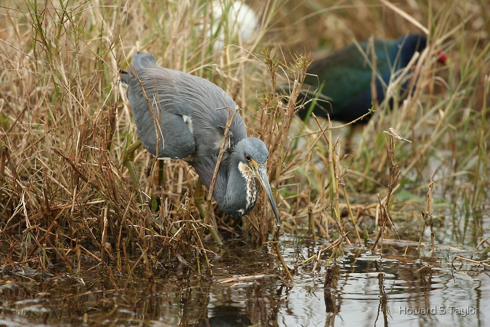Tri-Color Heron 2 by Howard S Taylor