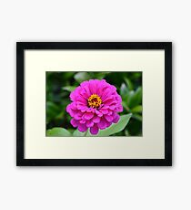 Zinnia at Gibbs Gardens Framed Print