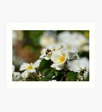 Bumblebee on White Rose at Gibbs Gardens Art Print