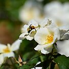 Bumblebee on White Rose at Gibbs Gardens by msegall