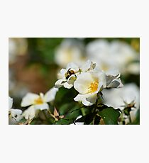 Bumblebee on White Rose at Gibbs Gardens Photographic Print