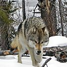 Wolf glare by James Anderson