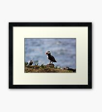 Puffin In The Middle Framed Print
