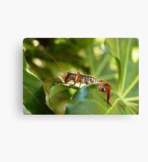 Weta, native New Zealand grasshopper Canvas Print