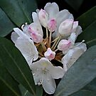 Rhododendron at Gibbs Gardens by msegall