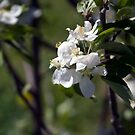 Apple Blossoms  by RavenSoul2