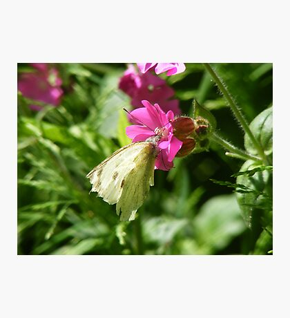 cabbage white resting Photographic Print