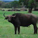 Cape Buffalo in Nakuru National Park by kczpics