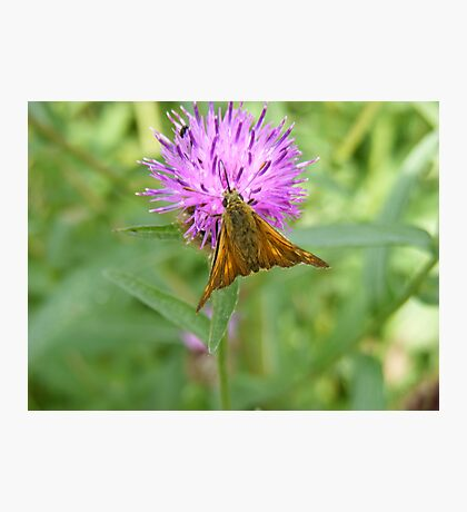 Skipper resting on a purple flower Photographic Print