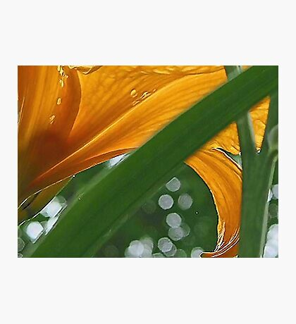 Lily with Raindrops - Bridgton,  Maine Photographic Print