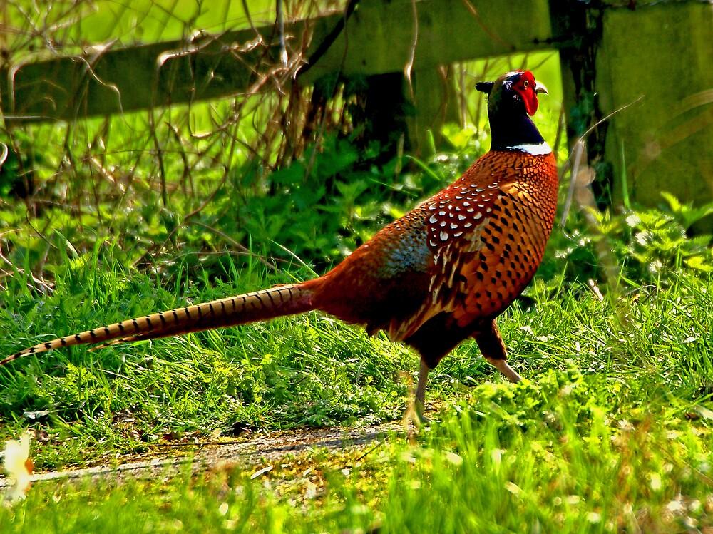 Pheasant by Paul Adkin