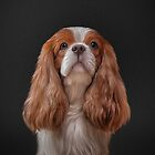 Drawing Dog Cavalier King Charles Spaniel  by bonidog