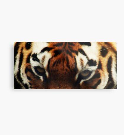 Tiger Eyes - Colchester Zoo Metal Print