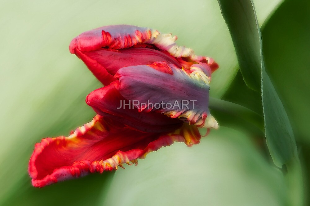 Awaken -Tulip by JHRphotoART