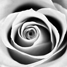 Black and White Rose Triptych I by Kathie Nichols